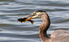 Great Blue Heron (with catfish) (Hard-Rain) Tags: bird nature illinois wildlife aves ardea catfish prey predator greatblueheron ardeidae ardeaherodias bolingbrook ciconiiformes specanimal