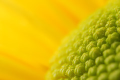 Surface of the Sun (DenisBouchard) Tags: flower macro green nature yellow micro supermacro zzz naturesfinest bouchard 10faves flowerotica searchandreward magicofaworldinmacro fiveflickrfavs denisbouchard
