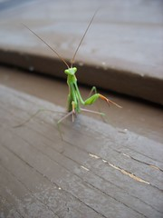 Green with absolute EVIL (terra bear) Tags: green female bug mantis crazy critter praying attack hate angry mean lime fiesty antenna attacking preying pinchers