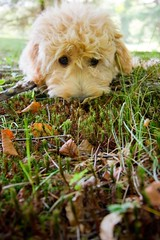 I like eating grass (Kalabird) Tags: usa grass puppy newhampshire mini atlas 4months goldendoodle canonefs1022mmf3545usm