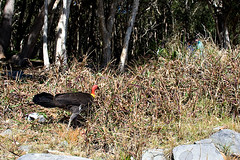 Scrubber! Bush Turkey