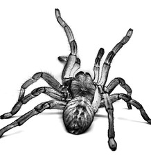 Tarantula (Furryscaly) Tags: petunia haplopelma asianbirdeater black highkey hikey white whitebackground bw blackandwhite blackwhite edited inverted reverse backward photoshop shadows legs sprawl rear grey gray grayscale greyscale detail photoediting limbs cephalothorax prosoma opisthosoma spinnerets tagmata abdomen tagma dof depthoffield 3d taxonomy:kingdom=animalia animalia animal taxonomy:phylum=arthropoda arthropoda arthropod invertebrate bug taxonomy:class=arachnida arachnida arachnid arachnophobia taxonomy:order=araneae araneae spider venom venomous taxonomy:suborder=mygalomorphae mygalomorphae taxonomy:family=theraphosidae theraphosidae tarantula fuzzy furry hairy big arachnoculture captive exoticpet pet ornithoctoninae earthtiger oldworld asian taxonomybinomial closeup unidentified