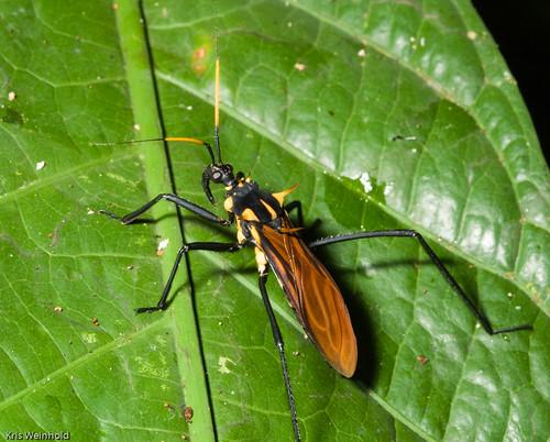 Amazon Wasp