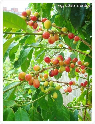 我家空中花園咖啡樹 (2)