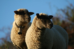 looking together (masked sheep) (krownoise) Tags: nature sheep mask mouton naturesfinest piratetreasure superhearts platinumheartaward piratetreasure2