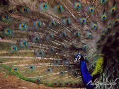 Dancing Peafowl (dickysingh) Tags: wild india bird nature outdoor wildlife peacock aditya phesant peafowl ranthambore singh artphoto ranthambhore dicky pavocristatus blueribbonwinner kuwaitphoto ranthambhorebagh kuwaitartphoto adityasingh dickysingh ranthamborebagh kuwaitart theranthambhorebagh matingdisplayofpeacock dancingpeacock