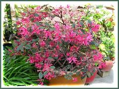 Our potted Loropetalum chinense var. rubrum 'Burgundy' or 'Sizzling Pink', taken September 27, 2007
