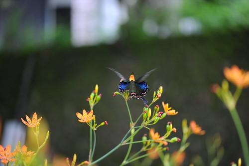 螳螂捕蝶 035