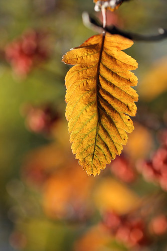 One autumn leaf