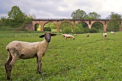 ..zzo guardi (zane) Tags: animal sheep