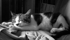 Palumita (Palumita) Tags: bw cat son gato gat 2007 dreem cattus 10faves kittycrown superhearts palumita bwcatphotos suenyo calculatingcats commentmycuteness
