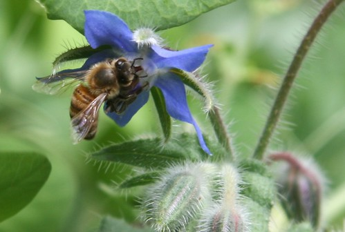 honeybee on borage