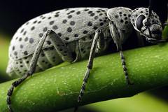 alien dalmation (Mundo Poco) Tags: macro canon insect eos 350d bravo beetle explore mpe 65mm naturesfinest macrophotosnolimits macrofoted natureoutpost excapture