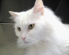 Dharma Again, a Beautiful Lady Cat at Heartland Humane Society (Pixel Packing Mama) Tags: beautiful wow gorgeous stunning greatshot catsandkittensset catscatscats furryfriday flickrwow whitecats allanimals glamourcatmagazine v700 flickrgirls beautifulcats favorites5 catpix pixelpackingmama catssmalltobig catfaces dorothydelinaporter views700 favorites10 worldsfavorite wowphotos beautifuluniverse melfanclub welovelatte cc700 catcloseups montanathecatfanclub catcentury acatslifeanddogsorothers catscookiecatfriends favoritedpixset spcacatspool spcacats cat700 kittycatpeople kittyfacefacesonly focusonthehead whiteanimals ceruleanthecat~fanclub views1000andupdomesticcatsonlypool oversixmillionaggregateviews over430000photostreamviews