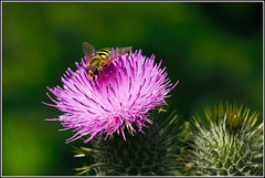 Hoverfly on Thistle - by Dave-F