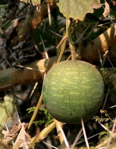 un id fruit on a creeper