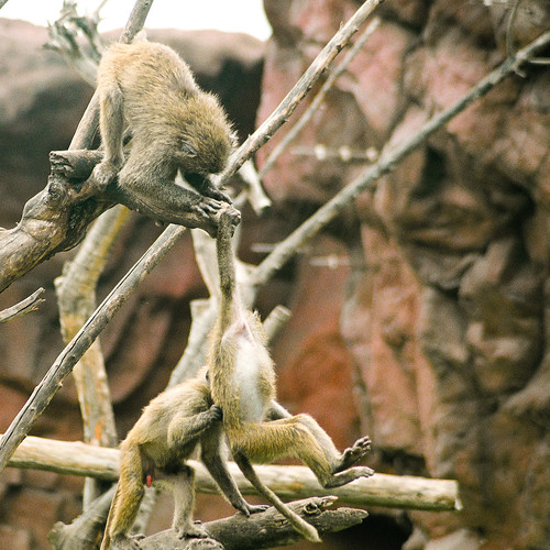 Baboons #3