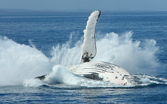 Hervey Bay Whales 1001 (Michael Dawes) Tags: camping sea mer australia queensland whale whales humpback fraserisland soe humpbackwhale herveybay flukes baleen dawes megapteranovaeangliae whalesong ctac shieldofexcellence flickrbest michaeldawes humpbackwhalesfraserisland humpbackwhalesherveybay queenslandmostinteresting