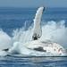 Hervey Bay Whales 1001 © Michael Dawes