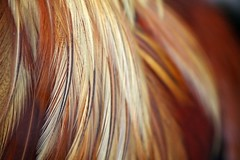 (Magali Deval) Tags: macro closeup feather cock coq plume grosplan featheryfriday fermedekeres
