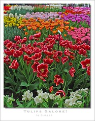 tulips galore! (milleluce.com) Tags: flowers plants holland color colour nature tulips keukenhof excellence giang themoulinrouge naturesfinest blueribbonwinner earthnature greatphotographers 10faves flickrsbest fantasticflower mywinners anawesomeshot aplusphoto favoritegarden superbmasterpiece goldenphotographer diamondclassphotographer flickrdiamond amazingamateur colourartaward flowersmakeeveryonehappy thegoldenmermaid proudshopper theperfectphotographer giangle giangleorg