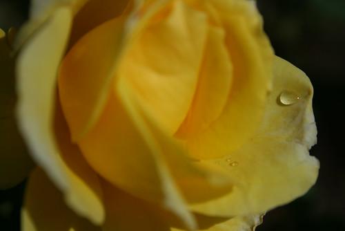 Droplet on Rose Petal