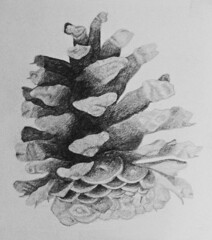 Drawing: Ponderosa Pine Cone (Floyd Muad'Dib) Tags: usa art illustration america pencil geotagged cone drawing united north drew illustrations drawings states pinecone drawn ponderosa graphite cones pinecones ponderosas leadpencil