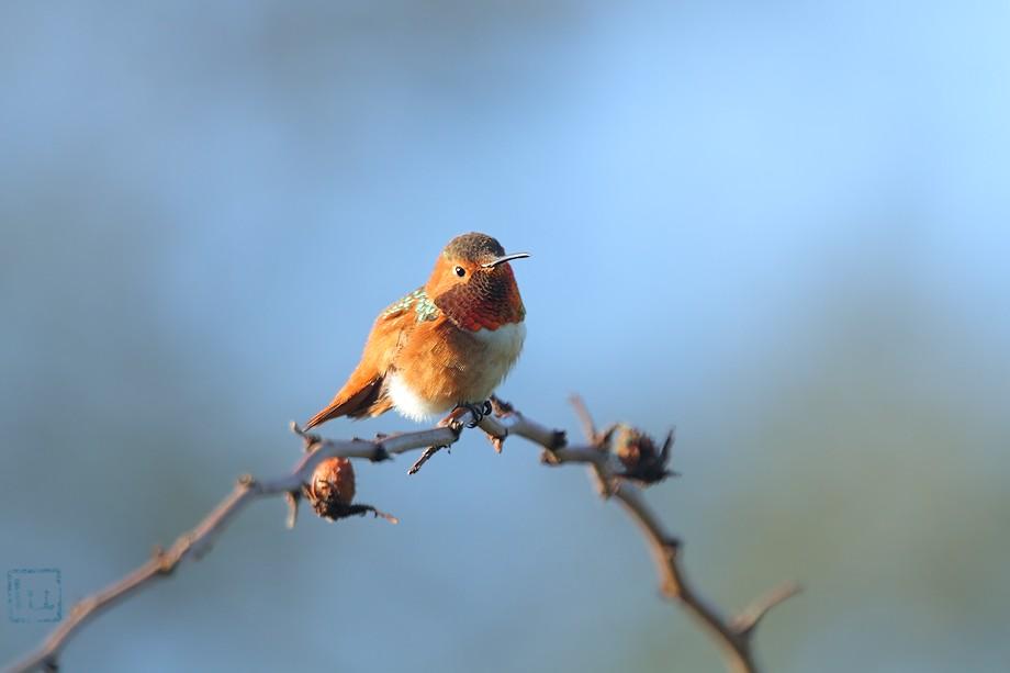 Allen's Hummingbird 102410