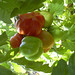 """tomato2 • <a style=""""font-size:0.8em;"""" href=""""http://www.flickr.com/photos/52479745@N06/5126773444/"""" target=""""_blank"""">View on Flickr</a>"""