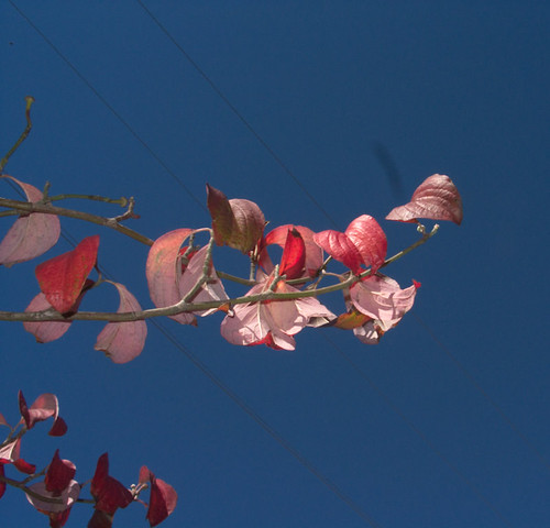 Dogwood branch against the blue sky