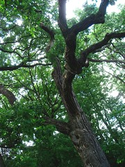 """This significant tree"" (Ann Althouse) Tags: old tree oak"