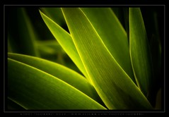 Green Flames (:: Igor Borisenko Photography ::) Tags: light abstract macro green leaves d50 amazing nikon pennsylvania quality nikond50 best pa erie allrightsreserved orton lightroom highquality naturesfinest igorb81 bratanesque thegoldenmermaid bestofbratanesque igorborisenkophotography