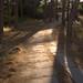 Through The Pine Trees