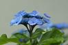 STF 紫陽花