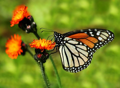 The Wonders of Spring. (nature55) Tags: nature wisconsin butterfly outdoors spring mercer lepidoptera coolest naturesfinest orangehawkweed specnature nature55 abigfave anawesomeshot impressedbeauty 346explorepages