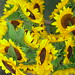 "Sunflowers • <a style=""font-size:0.8em;"" href=""https://www.flickr.com/photos/78624443@N00/549766115/"" target=""_blank"">View on Flickr</a>"