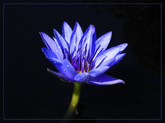 Lavender Blue Dilly Lily (xk8jag2000) Tags: flowers blue lily lavender wowiekazowie theperfectphotographer