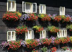 Blooming Windows (Pink Oleander) Tags: flowers windows austria europe upperaustria ried lpwindows