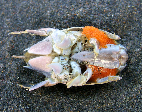pacific mole crab - photo #17
