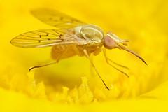 small fly on desert marigold (Mundo Poco) Tags: flower yellow canon insect eos 350d fly az rebelxt bec coolest beefly desertmarigold mpe 65mm naturesfinest picturecollection bombyliidae specanimal impressedbeauty ishflickr macrophotosnolimits cmeradeourobrasi macrofoted buzznbugz bestofmf macromarvels pthiriniinae poecilognathus unimaculatus theperfectphotographer excapturemacro