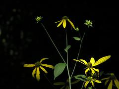 Wild Coneflowers - by It