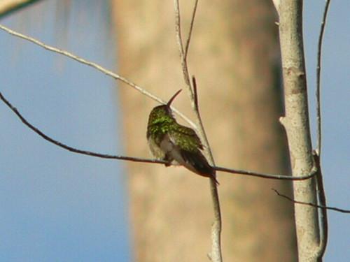Mangrove Hummingbird by Charles Hesse.