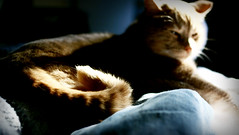 ebi tail curl (death and gravity) Tags: sun cat lightandshadows nap dof tail curl ebi hourofthediamondlight