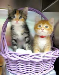 Viva & Comet the Kittens - in Purple Basket ~ EXPLORED (Pixel Packing Mama) Tags: wow lovely1 awesome awww catsandkittensset flickrwow exclamationpoints catskittensset thecatsmeow catcouples heartlandhumanesociety pixelpackingmama siblingspool worldsfavorite i500 catcentury v10000 montanathecat~fanclubpool kisforkittens bonzag favoritedpixset kissablekat abcsand123spool spcacatspool catskittensthatqualifytobeinthecatsmeowset wowaddonlypicturescommentedwithawowpool cat10000 wowiekazowiepool greatpixgallery20favespool ceruleanthecat~fanclubpool catsinbasketsset interestness49609sep07 canona570isclub exclamationpointspool pixwithexclamationpointsincommentsset reallyunlimitedpool thecorvallisoregonyearsset purpleset cc10000 views1000andupdomesticcatsonlypool allcatsallowedpool abcs123sentriesset views7000orfavorites100pool 2550favesnonudeseroticpool uploadedsecondhalfof2007set multiplecatspool exclamationpointsincommentsset 50commentspool chosenbyflickrexploreset views1000015000pool over10000viewspool animalbabiespool babyanimalspool buffcreamcreamsicleorangetabbytanbeigegingercatsset commentedwithwowunlimitedpool 50plusphotographersaged50andbetterpool update4sure wowphotospool 50favespool favorites50pool 50to74favoritescatscommentingrequiredpool update4sureset 10000viewsset pixelpackingmama~prayforkyronhorman obsessivephotographypool newfavset50 incrediblefelinephotos10000viewspool oversixmillionaggregateviews over430000photostreamviews
