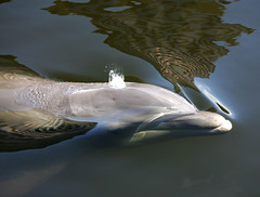 City Flipper (James D. Collins) Tags: tampa downtown florida dolphin hillsboroughriver canonef70200mmf4lisusm