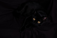 Black Cat (Light Saver) Tags: county blue black blackbackground cat fair winner belle ribbon 2007 humphreys on the donotcopy gettyproposed112009 donotusewithoutwrittenpermissions allmyimagesarecopyrighted ignoranceofcopyrightlawsisnoexcusetobreakthem allimagesarelicensedthroughgettyimages contactmewithanyquestions