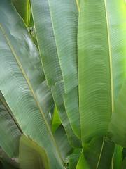Banana Leafs (raniel1963) Tags: plants plant green puerto puertorico banana rico tropical leafs isla isladelencanto portorico borinquen raniel1963raniel1963raniel1963