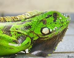 Iguana (Boarin) Tags: natureza iguana