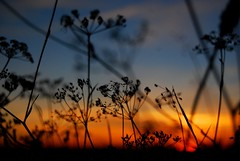 Sunset silhouettes (Sandrine 87) Tags: flowers sunset france nature fleurs geotagged oneofakind silhouettes bec coucherdesoleil limousin thebigone wonderworld supershot mywinners abigfave worldbest anawesomeshot colorphotoaward ultimateshot superbmasterpiece superhearts citritgroup heartawardsgroup coloursplosion photoexplore