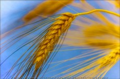 Golden Harvest (:: Igor Borisenko Photography ::) Tags: blue yellow gold nikon raw quality wheat farming grain harvest ukraine nikond50 best crop crops bec allrightsreserved gentle orton lightroom highquality supershot outstandingshots anawesomeshot colorphotoaward superaplus aplusphoto igorb81 infinestyle bratanesque thegoldenmermaid bestofautumn theroadtoheaven ukrainianflagcolors igorborisenkophotography